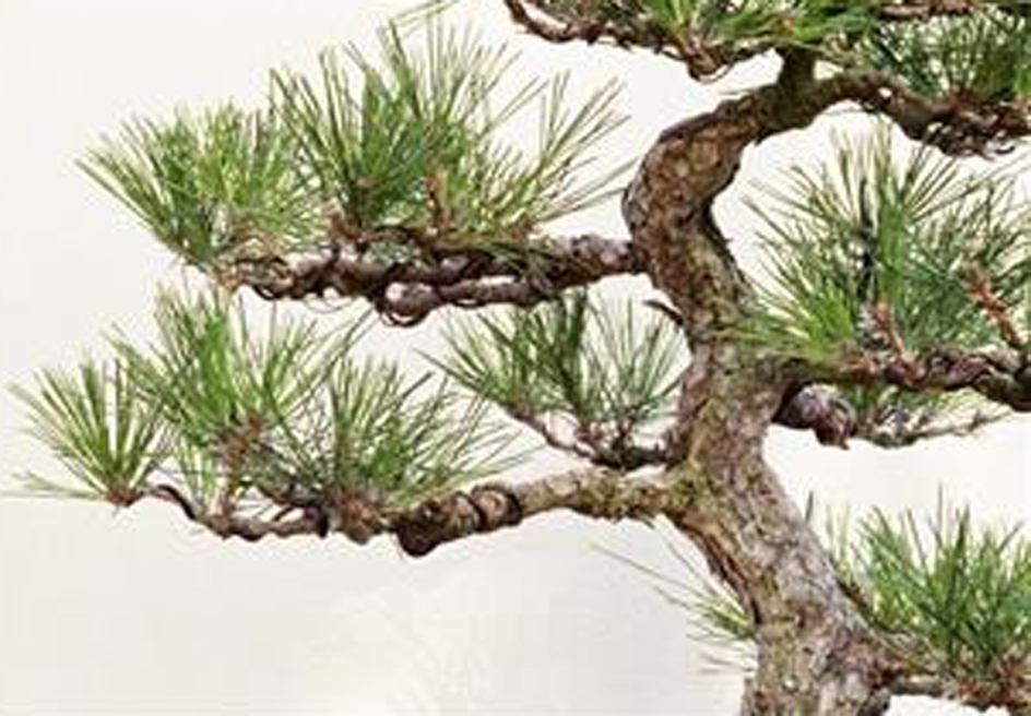 Parts of the pine tree contain healthy nutrients