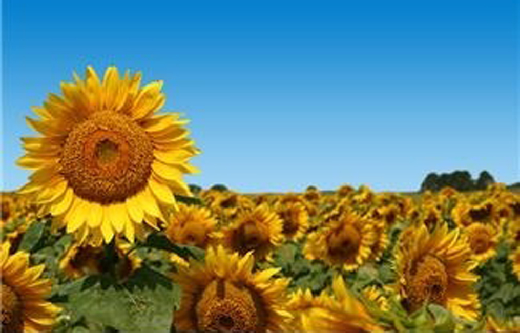Sunflowers, Natural Fresh Seeds